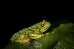 Froglet di Rhacophorus Pseudomalabaricus visto a Munnar Fotografia Stock Libera da Diritti
