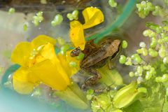 Froglet na flor Fotografia de Stock Royalty Free