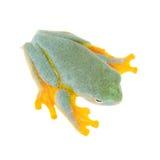 Frogling för Malabar flygträd som isoleras på vit arkivfoto