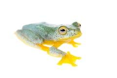 Frogling för Malabar flygträd som isoleras på vit arkivbilder