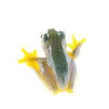 Frogling för Malabar flygträd som isoleras på vit arkivbild