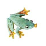 Frogling för Malabar flygträd som isoleras på vit royaltyfri foto