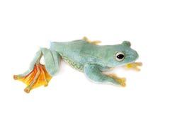 Frogling för Malabar flygträd som isoleras på vit royaltyfria foton