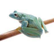 Frogling för Malabar flygträd som isoleras på vit royaltyfria bilder
