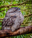 Frogmouth Imagens de Stock Royalty Free