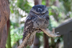 Frogmouth bird on a branch Royalty Free Stock Image