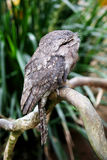 Frogmouth Stock Photography