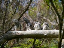 A frogmouth family in a tree Royalty Free Stock Images
