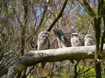 A frogmouth family in a tree Royalty Free Stock Photo