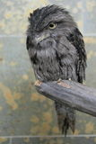 Frogmouth fauve Image stock