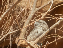 Frogmouth fauve (strigoides de Podargus) Photo libre de droits