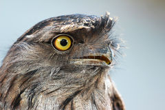 Frogmouth fauve (strigoides de Podargus) Photo stock
