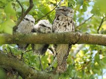 Frogmouth Podargus strigoides female bird with hatchlings Stock Images
