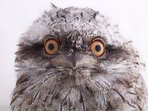 Frogmouth rojizo australiano juvenil - retrato imagen de archivo