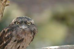 Frogmouth Tawny Fotografia de Stock Royalty Free
