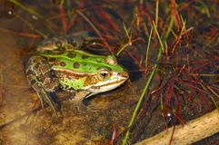 Frogs. Close up of a frog Royalty Free Stock Photography