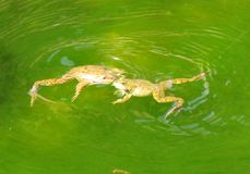 Frogs. Two frogs playing in green water Royalty Free Stock Photography