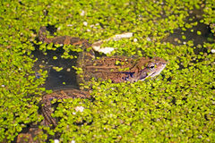 Frogs. Frog in the swamp with duckweed Stock Images