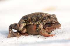 Frogs Royalty Free Stock Photography