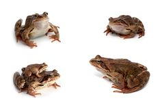 Frogs Royalty Free Stock Photos
