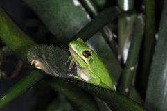 Frogs-7 Royalty Free Stock Images