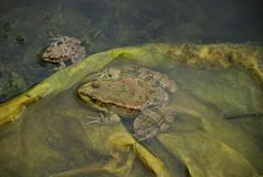 Frogs in a bog Royalty Free Stock Photography