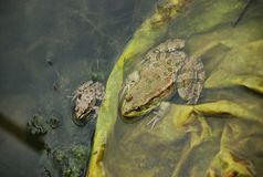 Frogs in a bog Royalty Free Stock Photo