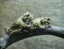 Frogs on a branch royalty free stock photo