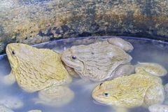 Frogs in breeding ponds and big size.  Royalty Free Stock Photography
