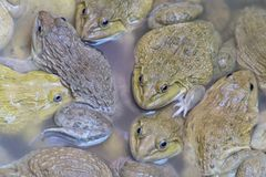 Frogs in breeding ponds and big size.  Royalty Free Stock Image