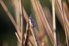 Frogs clinging to reeds on the flooded waterways of the okavango delta in Botswana. royalty free stock image