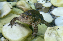 Frogs couple Stock Photos