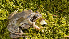 Frogs couple in  early spring season. Frogs couple in the early spring season stock video