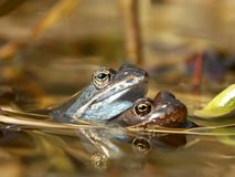 Frogs couple in a pond in spring. Frog carry other in pond in the forest Stock Photography