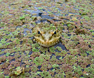 Frogs eyes_1. A frog in algae in a public park stock photo