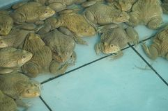 Frogs in the farm and big size.  Stock Photography
