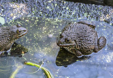 Frogs in the farm Royalty Free Stock Photography
