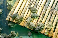 Frogs at the farm in pond. On bamboo board background royalty free stock photography