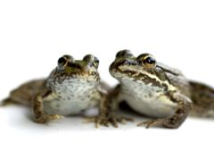 Frogs friends. Two frog friends on a white background Stock Photo
