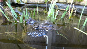 Frogs and Frogspawn stock footage
