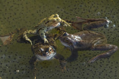 Frogs  on garden pond Stock Photos