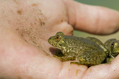 Frogs In Hand Stock Photo