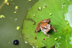 Frogs is on the leaf of lotus plant royalty free stock photos
