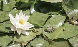 Frogs on leaves of water lily on lake. Some frogs on leaves of water lily on lake Royalty Free Stock Photo