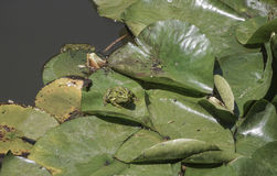 Frogs on leaves of water lily on lake. Some frogs on leaves of water lily on lake Stock Image