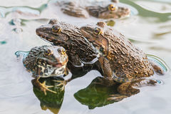 Frogs Stock Images