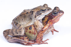 Frogs in love. Couple of mating frogs isolated Stock Photos