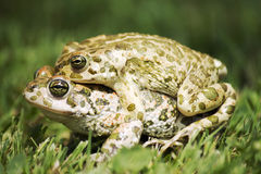 Frogs in love Stock Images