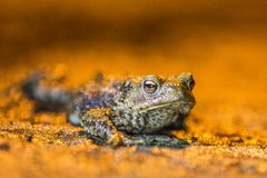 Common frog making love with golden light Stock Images