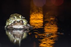 Common frog making love with golden light Stock Photography